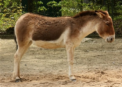 A kiang (Equus kiang) is the largest of the wild asses. It is native to the Tibetan Plateau (via Wikipedia)