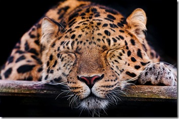 Leopards: Prowling NLS?