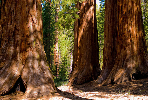 sequoia-trees_by-Joi